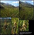 Carex microglochin Wahlenb 000107277O.jpg