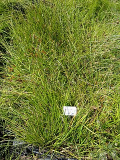 Carex otrubae - Botanical Garden, University of Frankfurt - DSC02724.JPG