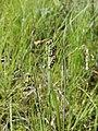 Carex paupercula Oulu, Finland 12.06.2013.jpg