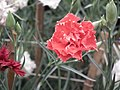 Carnation from Lalbagh flower show Aug 2013 8092.JPG