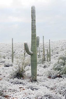 During wintertime, snow may fall in Tucson on rare occasions. Carnegiea gigantea-3.jpg