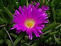 Carpobrotus glaucescens flower5 (8418465104).jpg