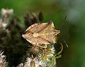 Carpocoris fuscispinus qtl1.jpg