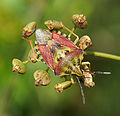 Carpocoris purpureipennis qtl1.jpg