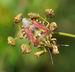 Carpocoris purpureipennis qtl1.jpg