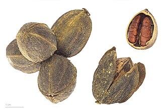 Pecan - Image: Carya illinoinensis MHNT.BOT.2011.3.85
