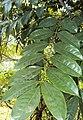 Castanospermum australe 02.JPG