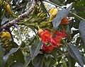 Castanospermum australe flowers.jpg