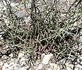 Castilleja linariifolia 4.jpg