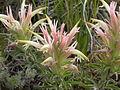 Castilleja sessilifolia (4000615291).jpg