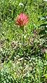 Castilleja wildflower, Brown Mt trail, Klamath Co, Oregon.jpg