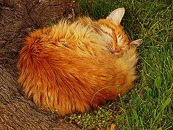 A macskák gyakran összegömbölyödve alszanak.
