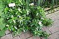 Catharanthus roseus - Bergianska trädgården - Stockholm, Sweden - DSC00486.JPG