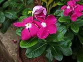 Dark pink colour