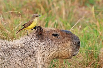Capybara - Cattle tyrant on a capybara