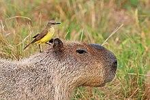 Capybara Test Pdf