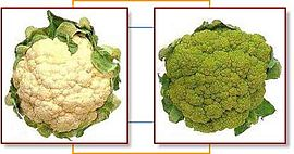Cauliflower broccoflower.jpg