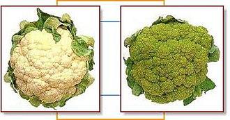 Broccoflower - Image: Cauliflower broccoflower