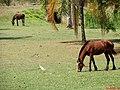 Cavalos e Garça branca na entrada de Pradópolis. - panoramio.jpg