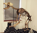 Cave bear skeleton.jpg