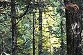 Cedar (6278258930).jpg