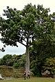 Ceiba (Ceiba pentandra) (14551955514).jpg