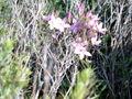 Centaurium erythraea.jpg