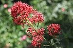 Centranthus ruber ( Valerian) (42857182901).jpg