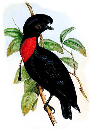 1851 in birding and ornithology - Bare-necked umbrellabird, a rainforest species from Central America first described in 1851