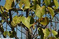 Cercis canadensis Forest Pansy 10zz.jpg