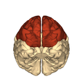 Cerebrum - frontal lobe - inferior view2.png