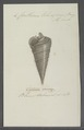 Cerithium telescopium - - Print - Iconographia Zoologica - Special Collections University of Amsterdam - UBAINV0274 083 05 0005.tif