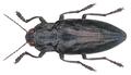 Chalcophora detrita (Klug, 1829).png