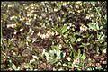 Chamaedaphne calyculata 2-eheep (5098070152).jpg