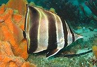 Chelmonops truncatus.jpg