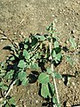 Chenopodium vulvaria sl119.jpg