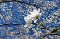 Cherry blossoms closeup.jpg
