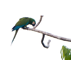 Chestnut-fronted macaw - near Wild Sumaco Lodge, Ecuador