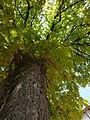 Chestnut tree (10287533374).jpg