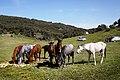 Chevaux - خيول - panoramio (5).jpg