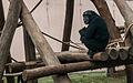 Chimpanzee in São Paulo Zoo.jpg