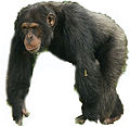 Chimpanzee male white background.jpg
