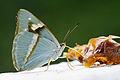 Chitoria ulupi arakii female 20140628.jpg