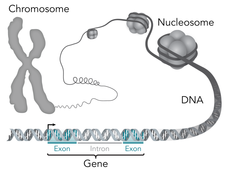 File:Chromosome-DNA-gene.png