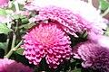 Chrysanthemum Debonair 0zz.jpg