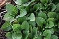 Chrysogonum virginianum 1zz.jpg