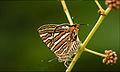 Cigaritis vulcanus-Madayippara.jpg