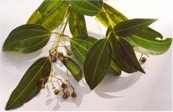 Feuillage de Cinnamomum verum,espèce fournissant la cannelle