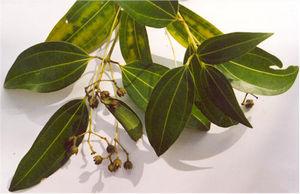 Cinnamomum verum - Cinnamomum verum foliage and flowers