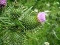 Cirsium vulgare 0.4 R.jpg